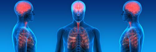 illustration des zones du cerveau mobilisés pour la respiration